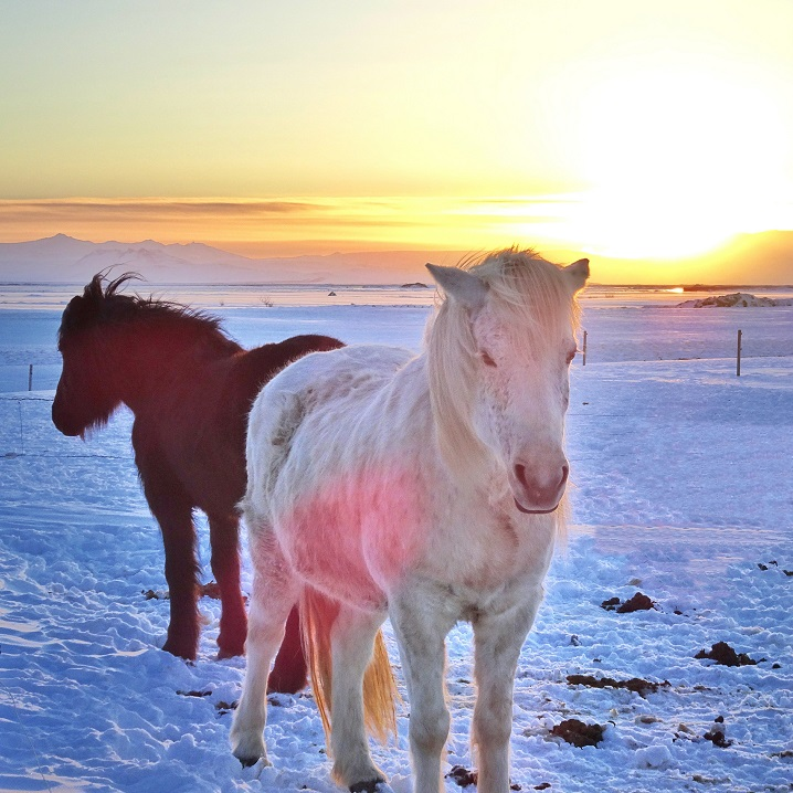 Iceland horses guide