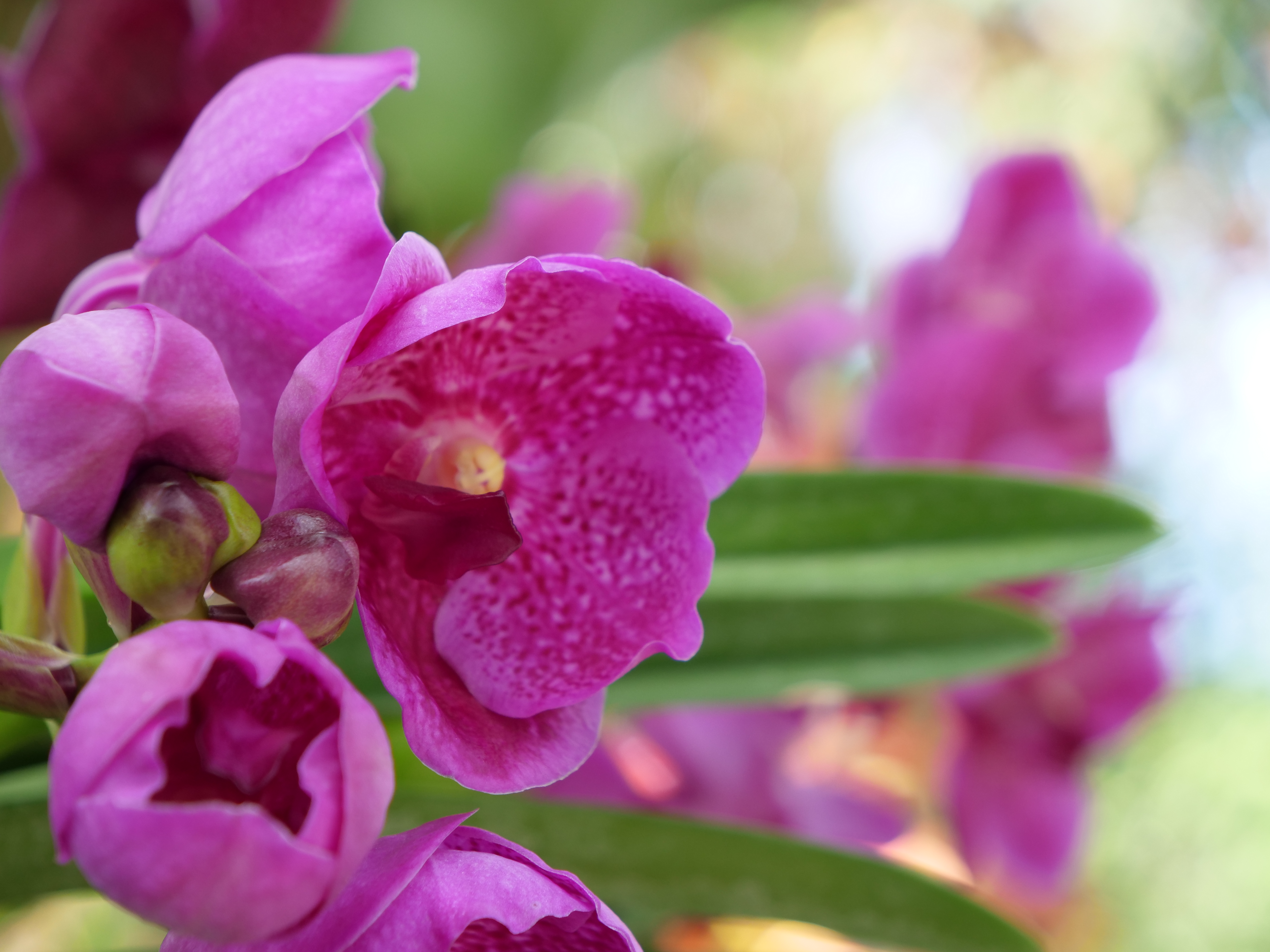 Vanda Awkwafina NYBG Orchid Show Pink flower