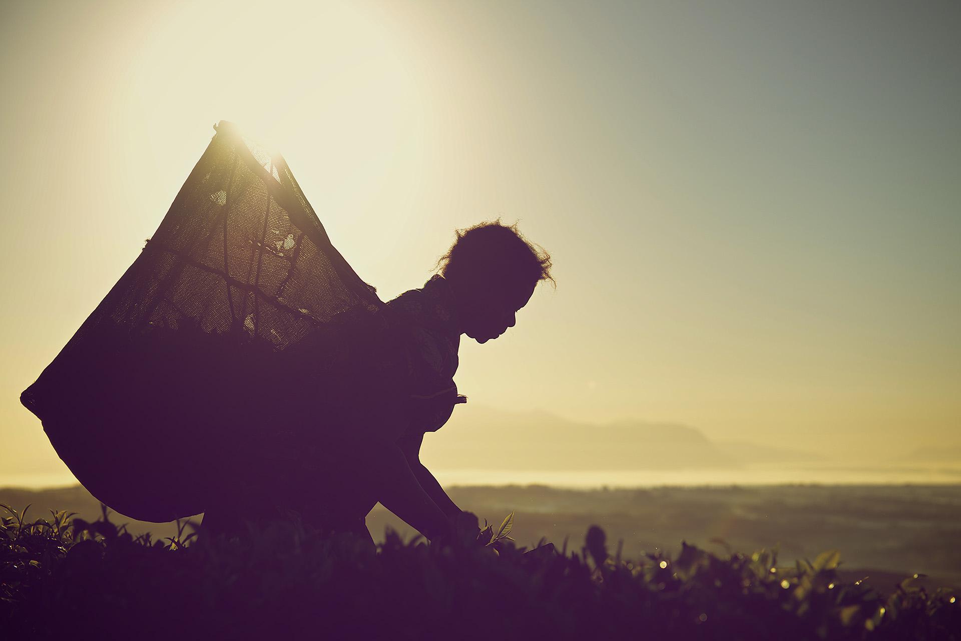 Silhouetted tea picker at sunrise - Satemwa