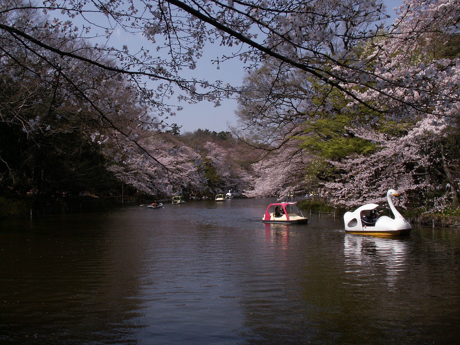 Cherry Blossom Inokashira Mitaka Travel Guide: A Quick Trip From Tokyo
