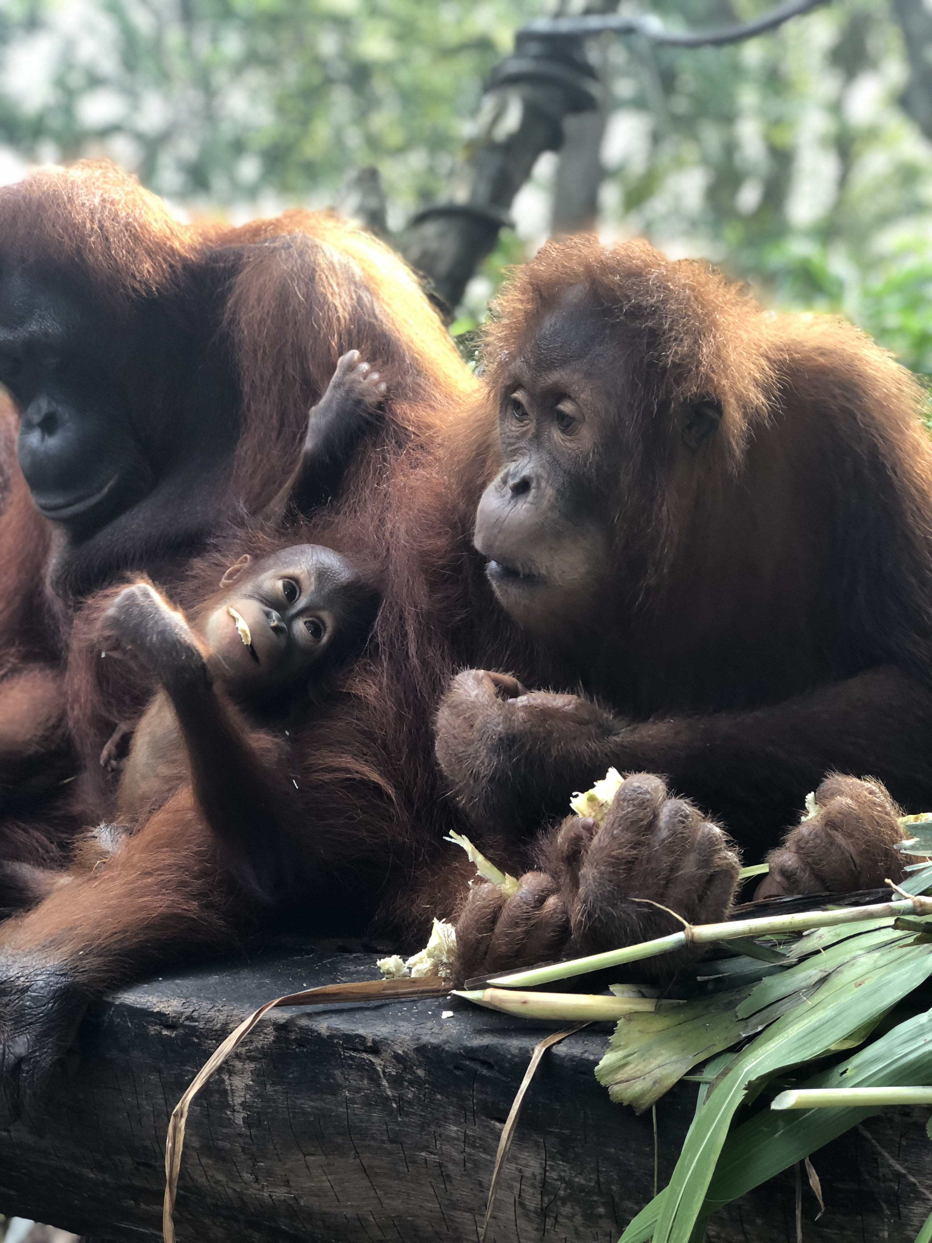 Breakfast with the Orangutans at the Singapore Zoo